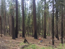 Study plot among huge red firs in the Rim Fire, Yosemite National Park