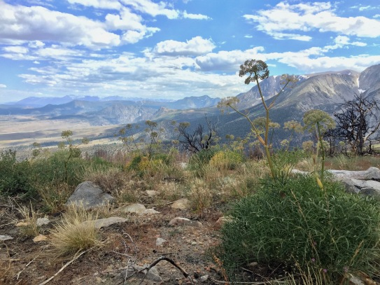 Angelica lineariloba with a view of the eastern Sierra in the area that burned in the 2015 Walker Fire