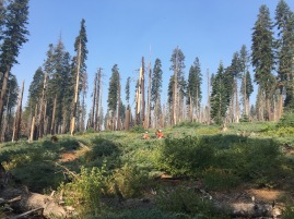 Fieldwork in post-fire red fir forest, Yosemite