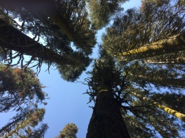Red fir forest canopy in Yosemite