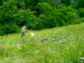 Phil Hahn sweepnets grasshoppers for our multitrophic diversity project
