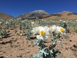 Prickly poppies bloom the year after the Walker fire (summer 2016, Mono County, California)