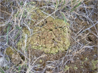 One of the most beautiful soil crust lichens - Acarospora schleicheri - from the 2009 central Oregon soil crust survey with Heather Root