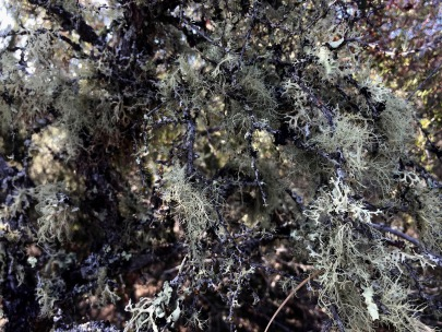 High lichen biomass and diversity in an old-growth chaparral stand, Napa Co, CA