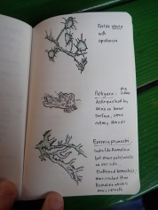 Sketches from a student in my Jepson Herbarium lichen workshop (by Mary Ann King)