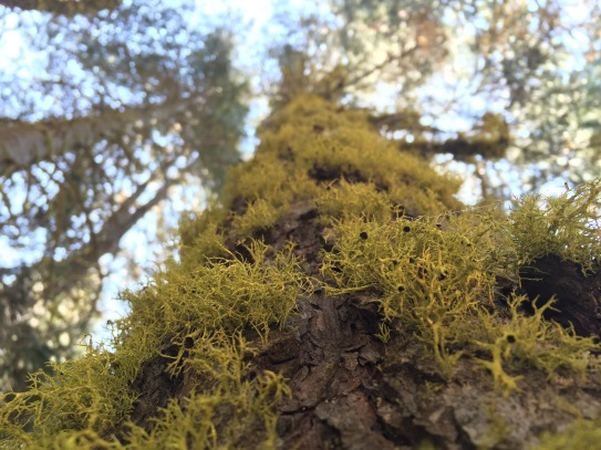 Wolf lichen on a tree bole