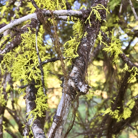 dry forest lichen community on the Modoc Plateau