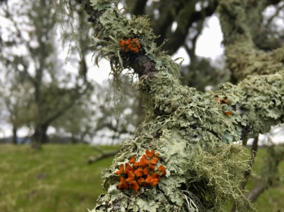 Epiphytic lichen community on valley oak in Moore Creek Park, Napa County--a field site for my UC Davis lichenology course