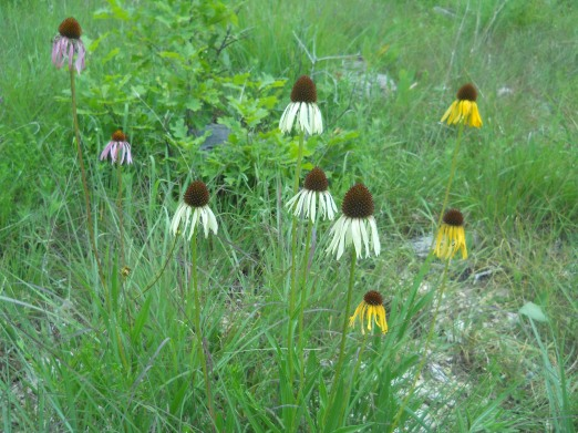 Echinacea paradoxa hybridizing with E. pallida - coolest thing ever!