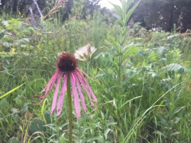Echinacea I seeded in 2015 blooms in 2019